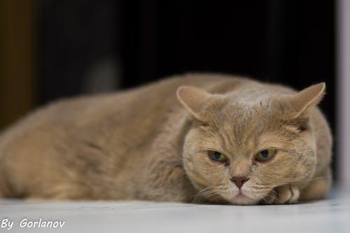大貓, 灰猫 的 免费素材照片