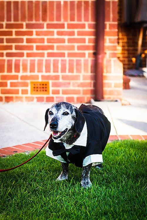 Free stock photo of dog, wedding