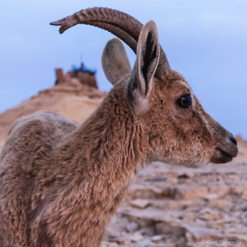 Free stock photo of animal, ibex, nature