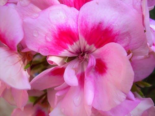 çiçek, doğa, pembe çiçek, su damlaları içeren Ücretsiz stok fotoğraf