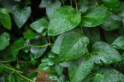 Free stock photo of after the rain, dark green plants, green leaves