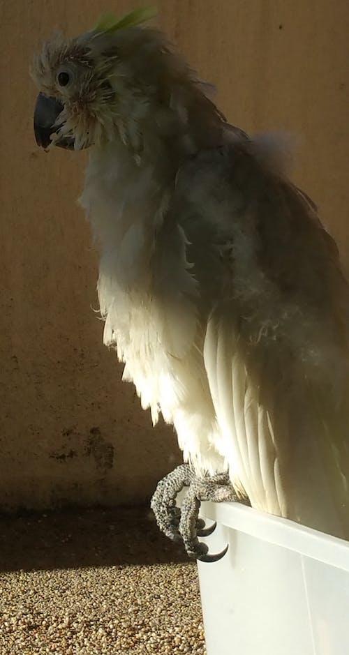 休息, 放鬆, 白鸚鵡, 老鸚鵡 的 免費圖庫相片