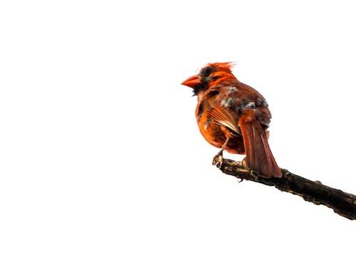 Free stock photo of beak, branch, cardinal, feathers