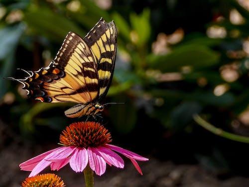 Free stock photo of Beautiful butterfly, beautiful flower, butterfly, flower