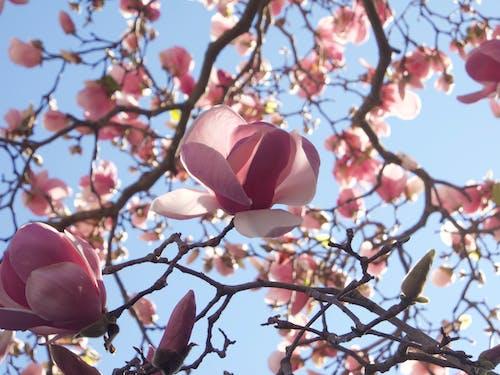 木蘭花, 樹, 玉蘭花 的 免费素材图片