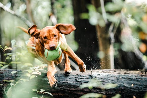 Dog With Ball in Mouth Jumping Over A Fallen Tree Trunk
