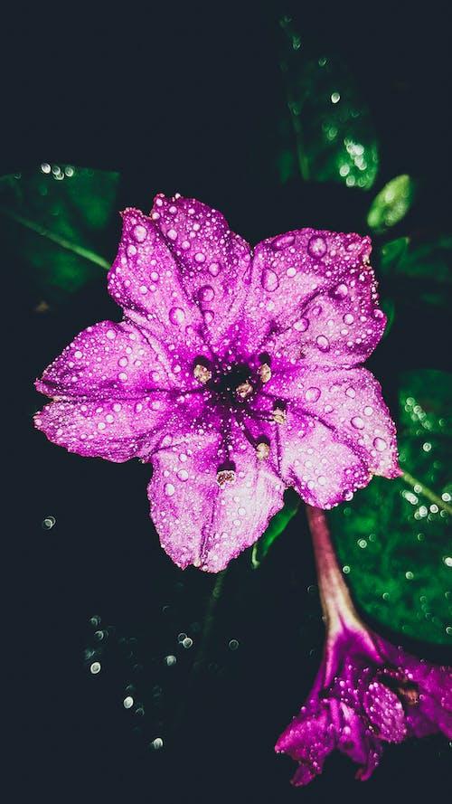 Foto profissional grátis de beleza na natureza, campânula, close, cor rosa