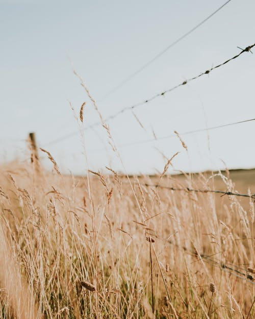 Barbwire Fence on Wheat Field