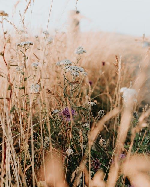 Foto d'estoc gratuïta de alba, camp, camp de blat, capvespre