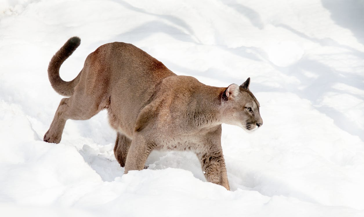 cat, mountain lion, predator