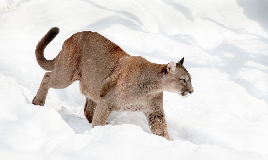 big cat, cat, mountain lion