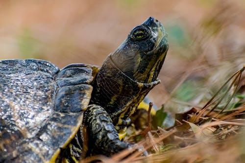 Δωρεάν στοκ φωτογραφιών με ζώο, χελώνα
