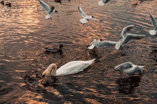 Darmowe zdjęcie z galerii z łabędź, natura, rzeka, zachód słońca