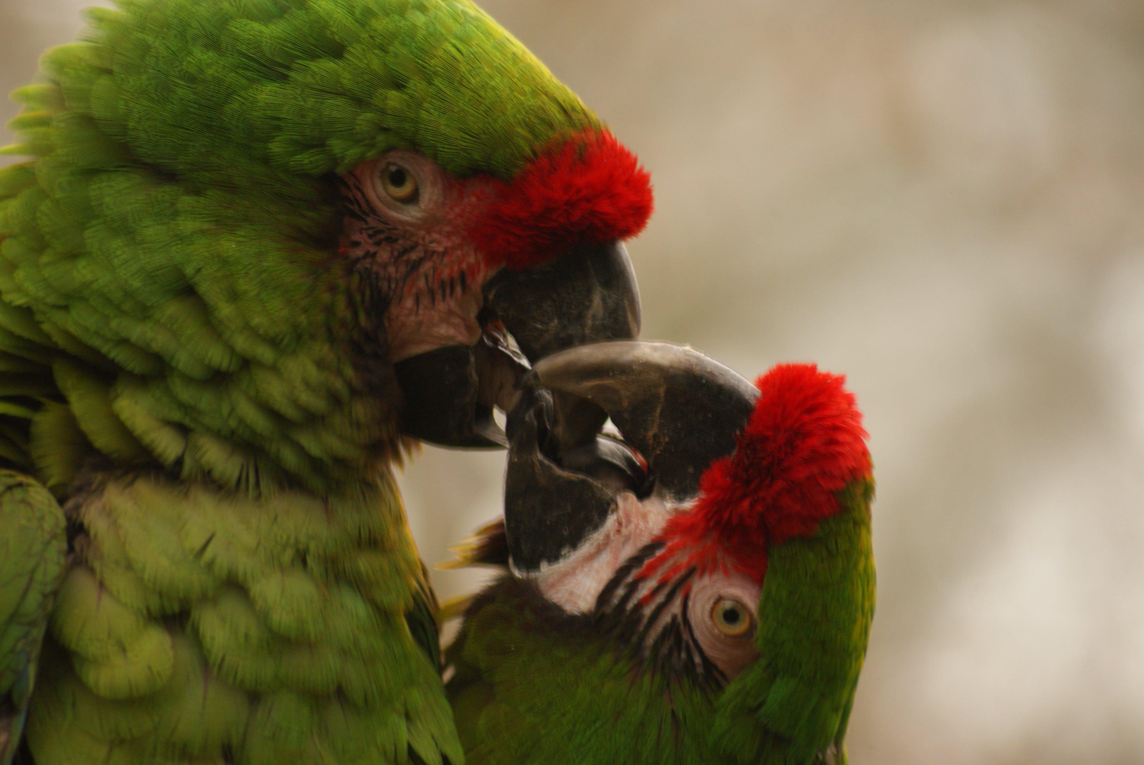 Free stock photo of nature, bird, red, love
