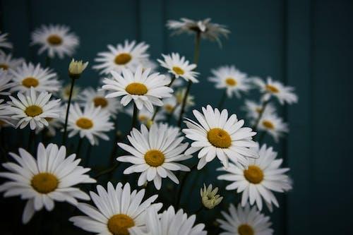 Foto stok gratis aster, bunga, bunga aster, bunga-bunga