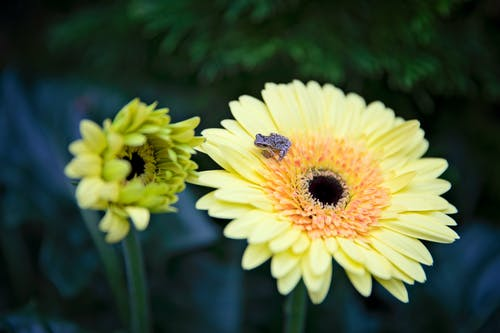 Free stock photo of american green tree frog, gerbera daisy
