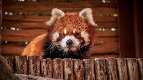 Ảnh lưu trữ miễn phí về chân dung con vật, con vật, gấu trúc đỏ