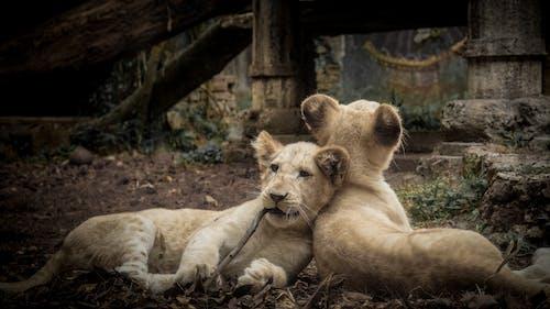 Ảnh lưu trữ miễn phí về con vật, sư tử