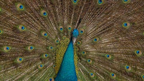 Ảnh lưu trữ miễn phí về chim, chụp ảnh động vật, con công, con vật
