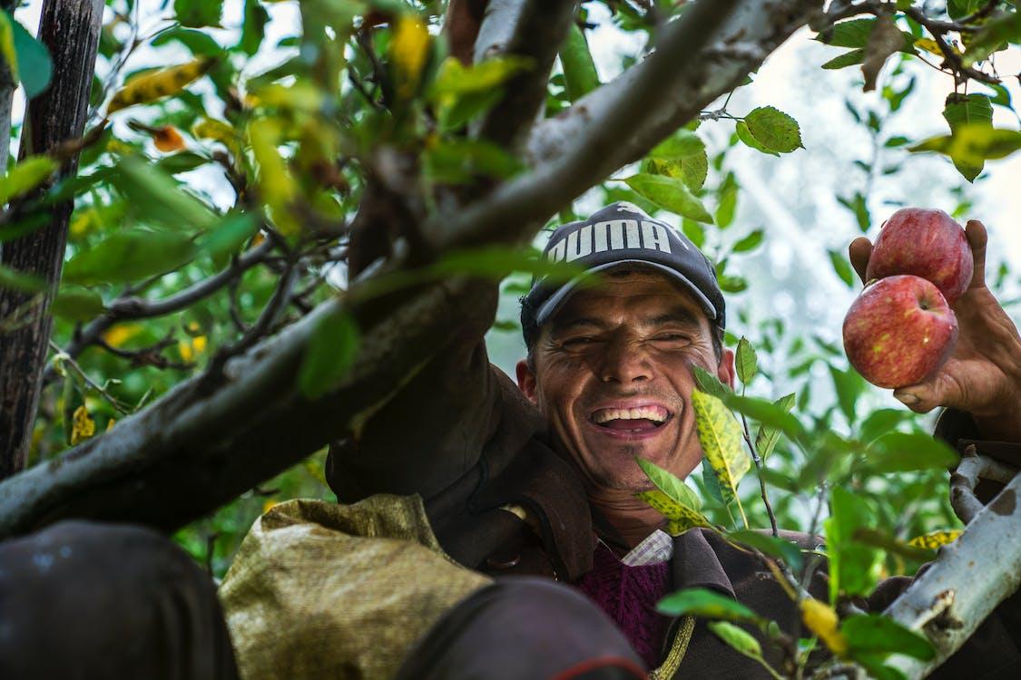 Hombre En Un árbol Sosteniendo Manzanas