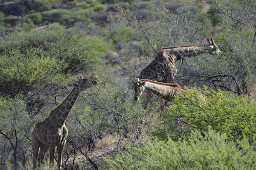 3, HDの壁紙, アフリカ, キリンの無料の写真素材