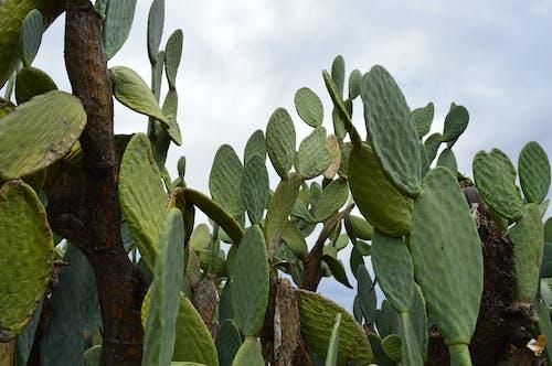 HDの壁紙, アフリカ, サボテン, サボテンの植物の無料の写真素材