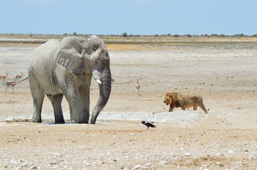 HDの壁紙, アフリカ, アフリカのブッシュゾウ, アンテロープの無料の写真素材