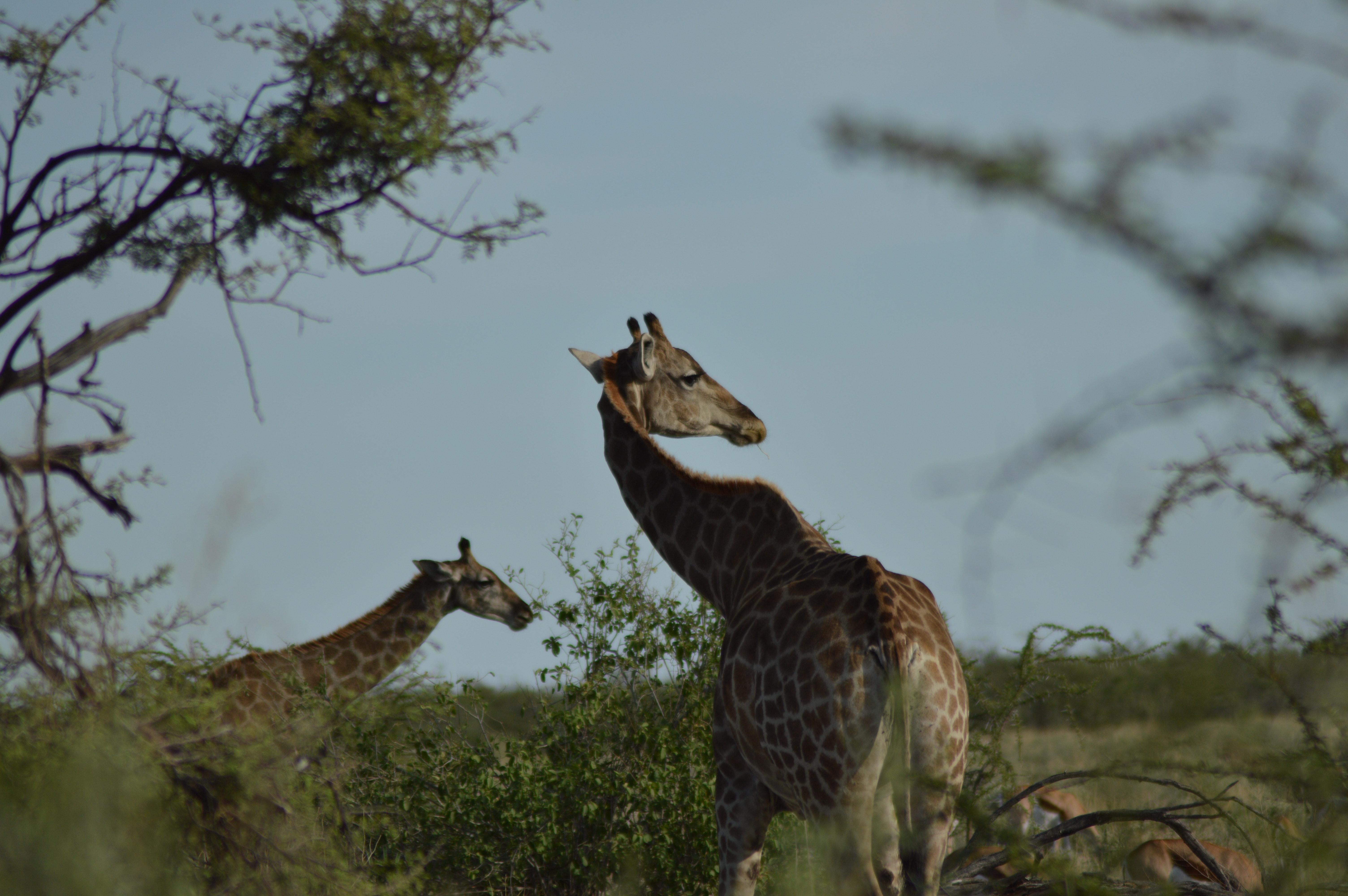 Hdの壁紙 アフリカ キリンの無料の写真素材