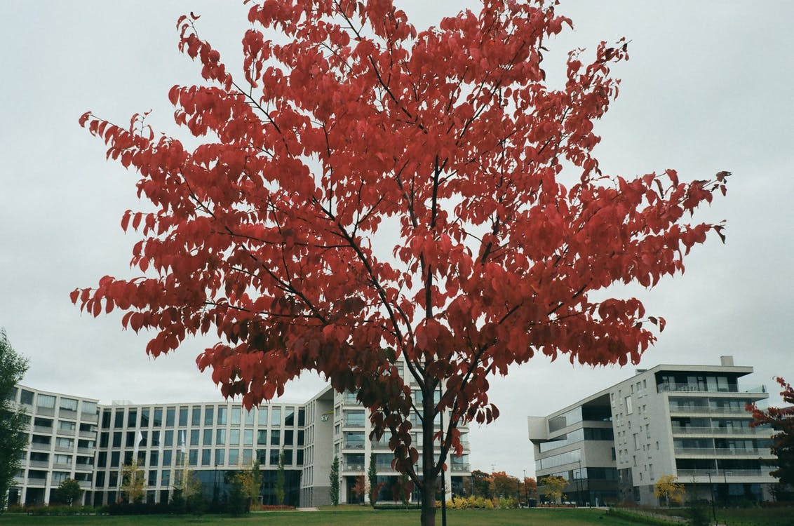 Red Leafed Tree