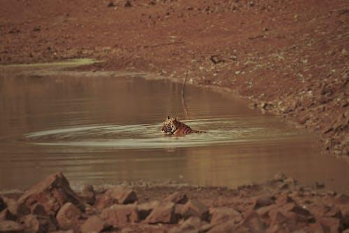 Photos gratuites de action, chaud, faune, inde