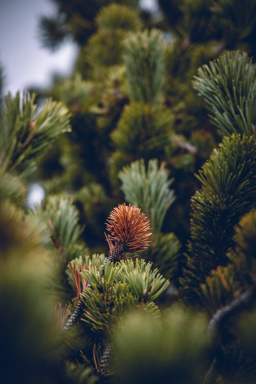 ความชัดลึก, ต้นสน, ต้นไม้