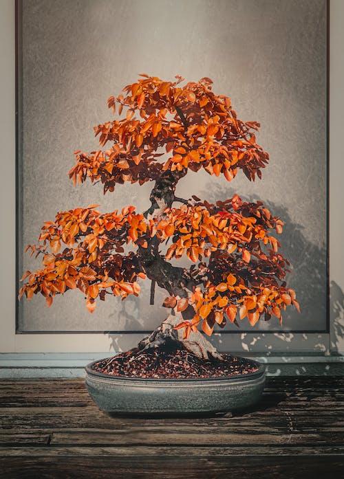 Ilmainen kuvapankkikuva tunnisteilla bonsai, putoaminen, Syksy, väri
