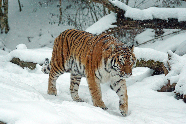 Tiger on Snow