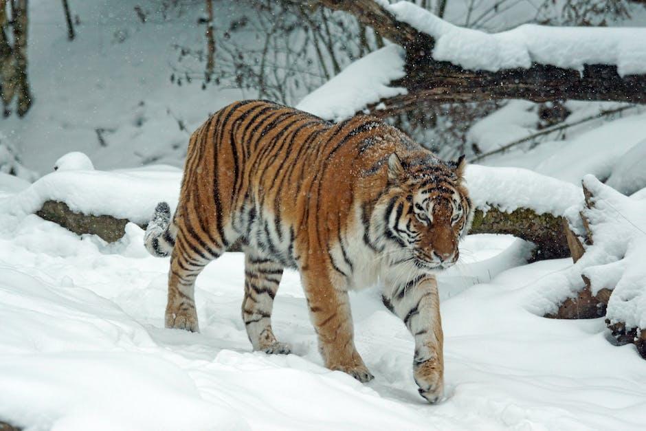 animal, big, big cat
