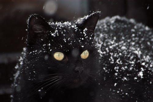 Darmowe zdjęcie z galerii z koci, kot, śnieg, uroczy