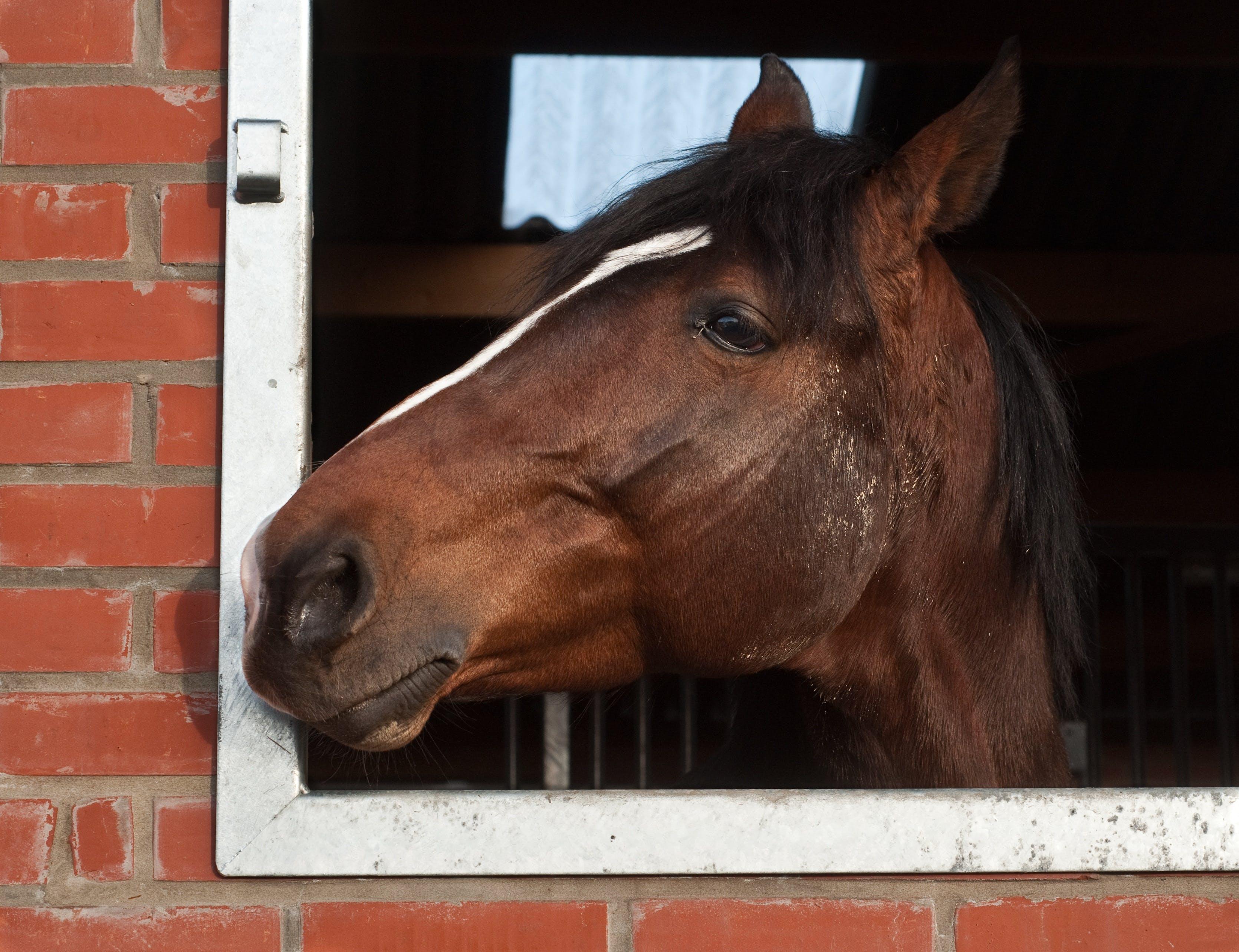 Free stock photo of animal, window, head, horse
