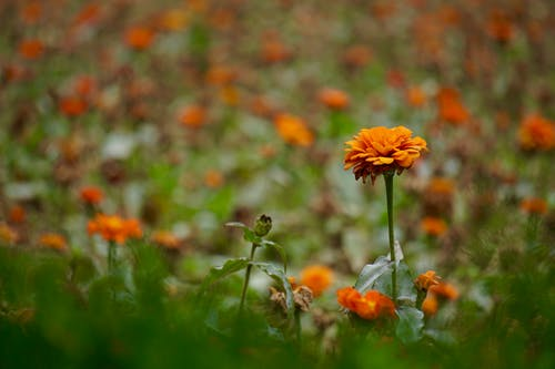 Free stock photo of orange flower