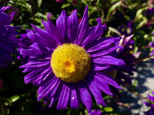 Free stock photo of purple flower yellow