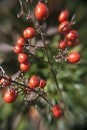 red, plant, berries