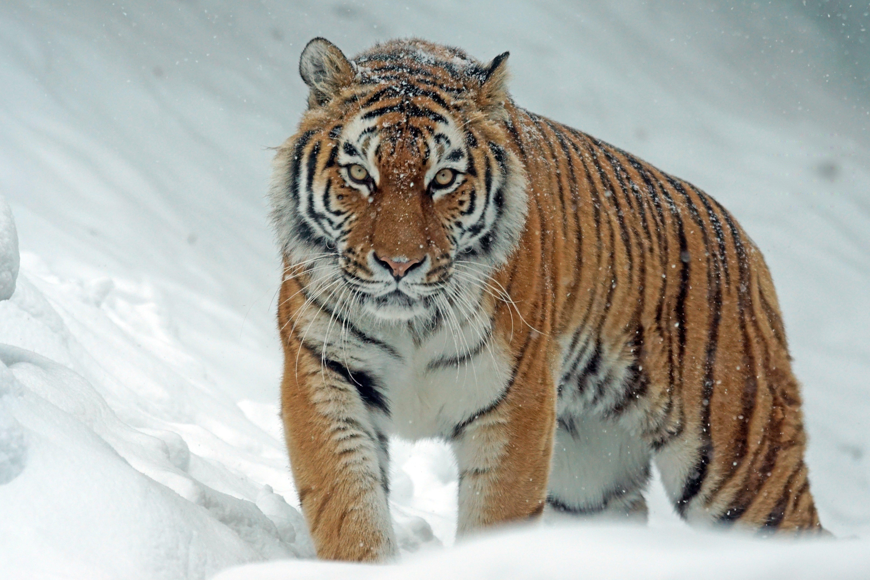Fotos de stock gratuitas de animal, carnívoro, cazador, congelando