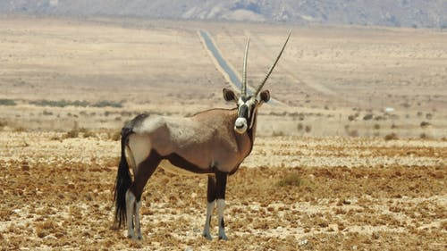 Brown and Black Antelope on Desert