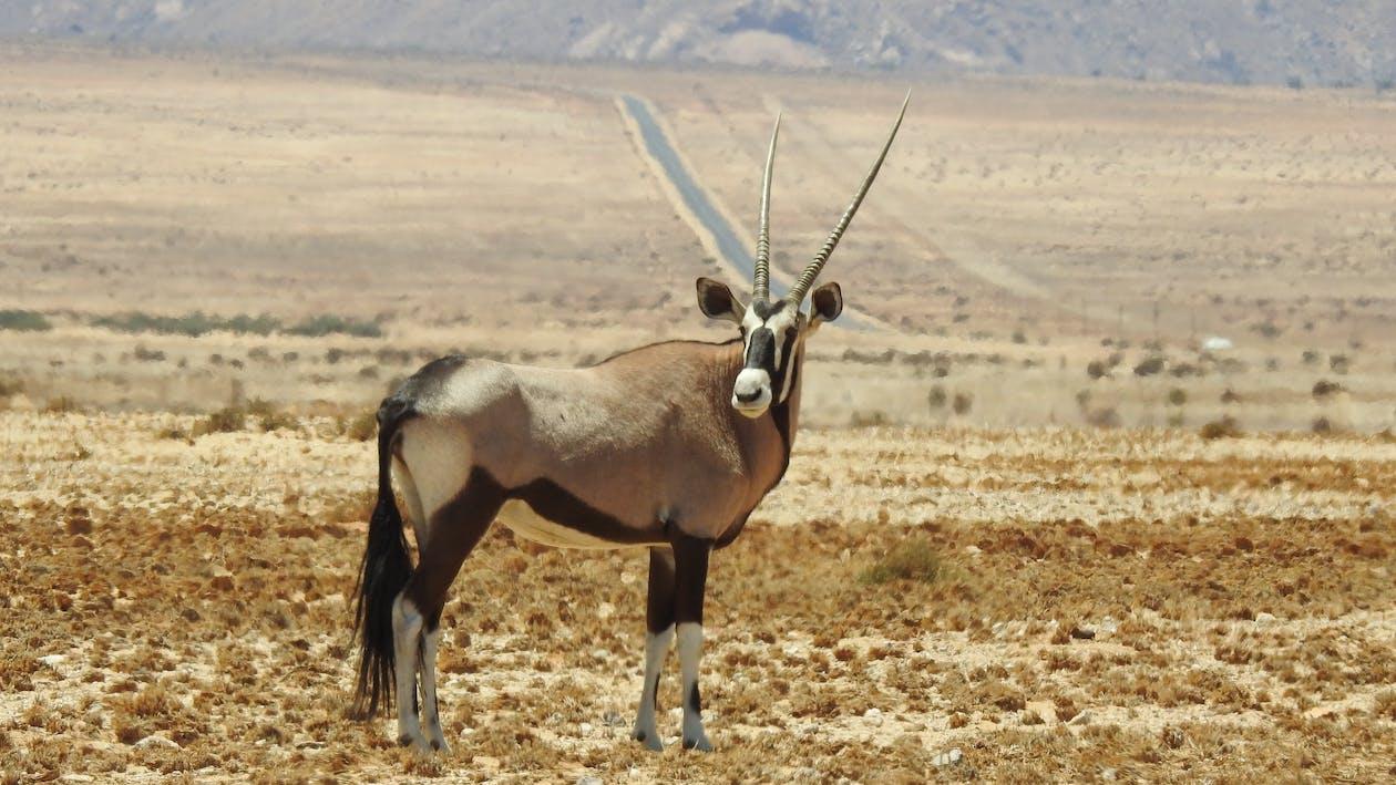 Základová fotografie zdarma na téma Afrika, antilopa, cestování