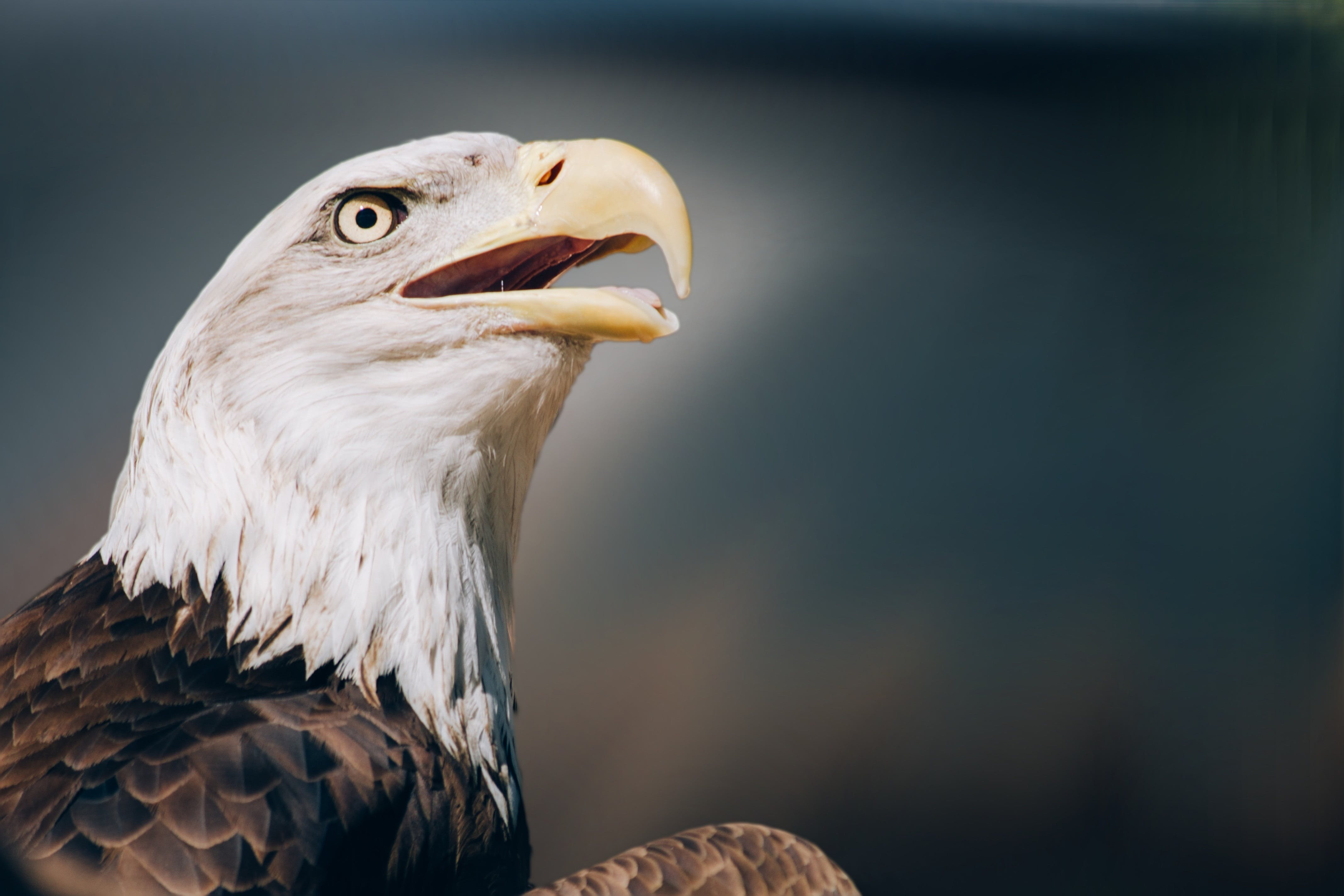 Brown and White American Bald Eagle