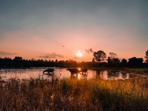 Gratis lagerfoto af bøfler, dam, pøl, solnedgang
