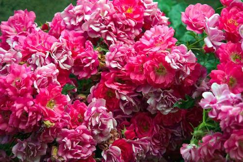 Gratis arkivbilde med arbuste, botanique, fleurs, floraison