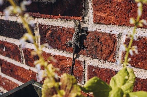 Бесплатное стоковое фото с кирпичная стена, ящерица