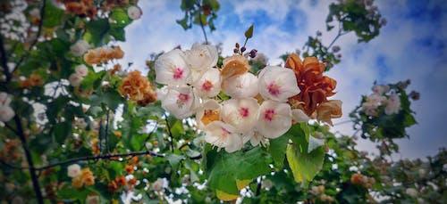 Immagine gratuita di bellezza nella natura, bocciolo, cielo azzurro, fiori bianchi