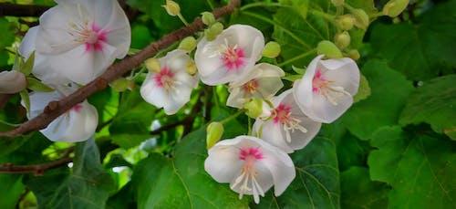 Immagine gratuita di bellezza nella natura, bocciolo, fiori bianchi, natura
