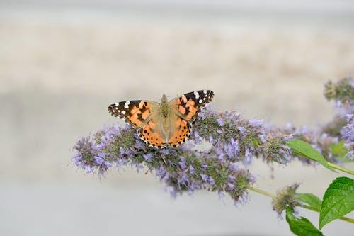 Photos gratuites de dame peinte, hysope, papillon