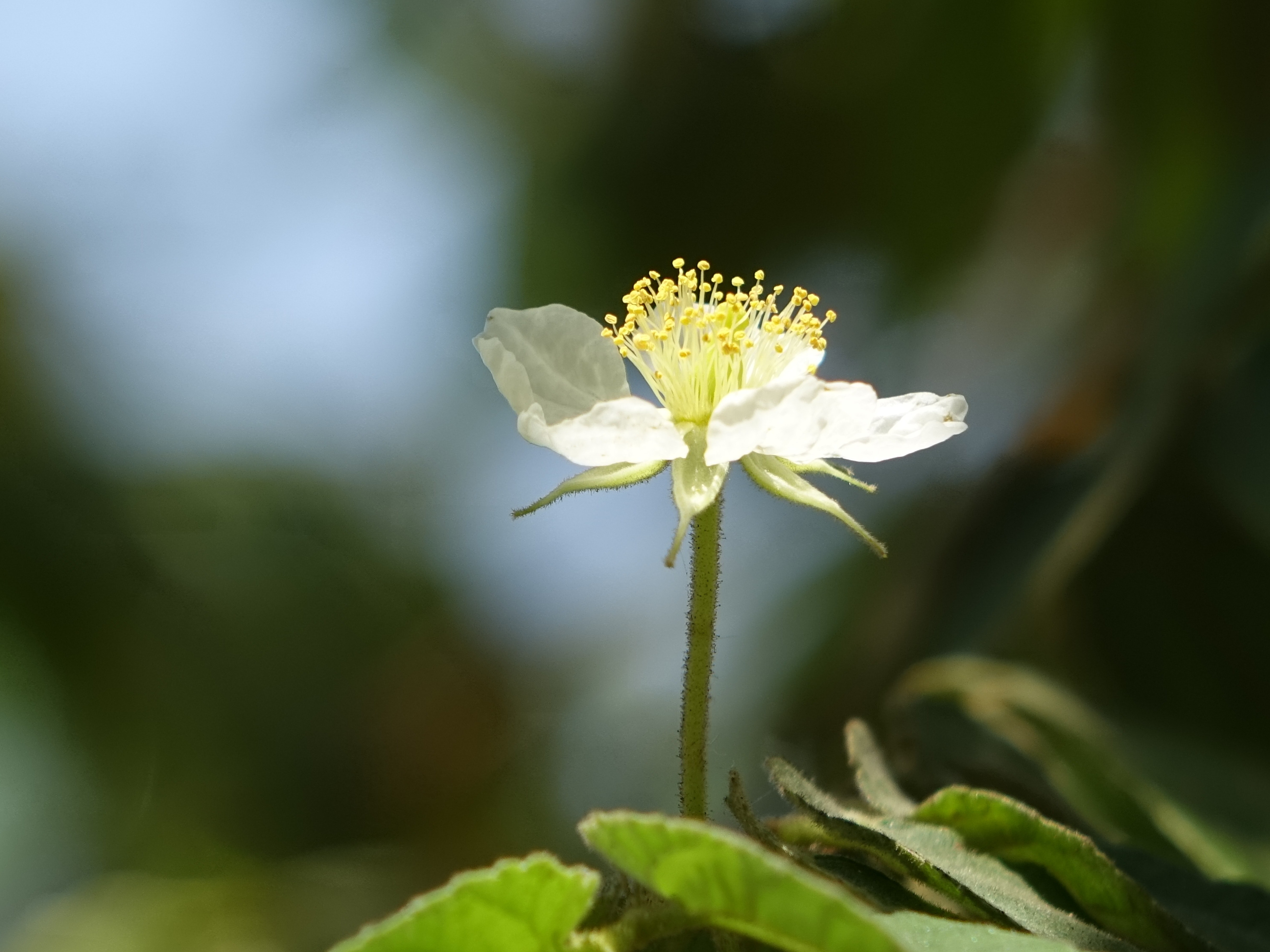 Free Stock Photo Of Small White Flowers South America Holiday